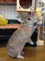 [ウサギ]