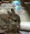 [ウサギ][ポケモン]