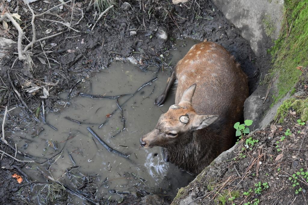 この日は暑かったので池で涼をとる鹿さん