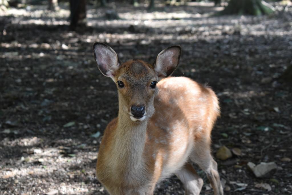 正面を向く幼い鹿さん。凛々しい表情