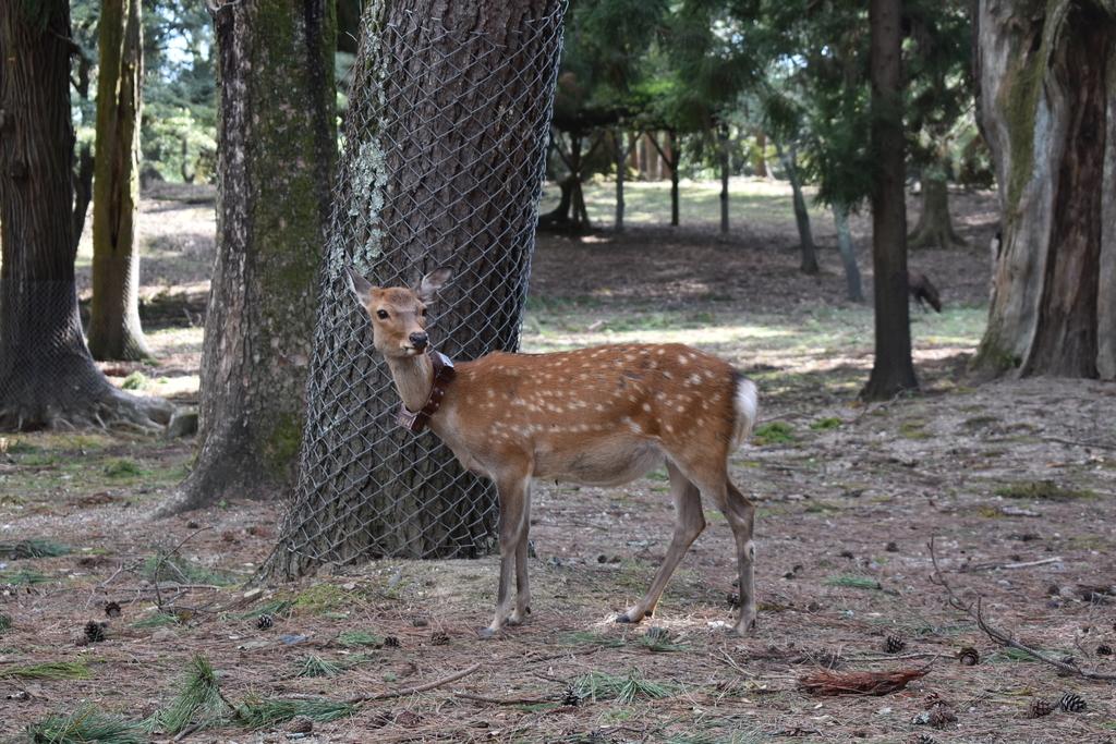 GPSをつけている鹿。参道の店主の話によるとGPSをつけている鹿が何頭かいるそう