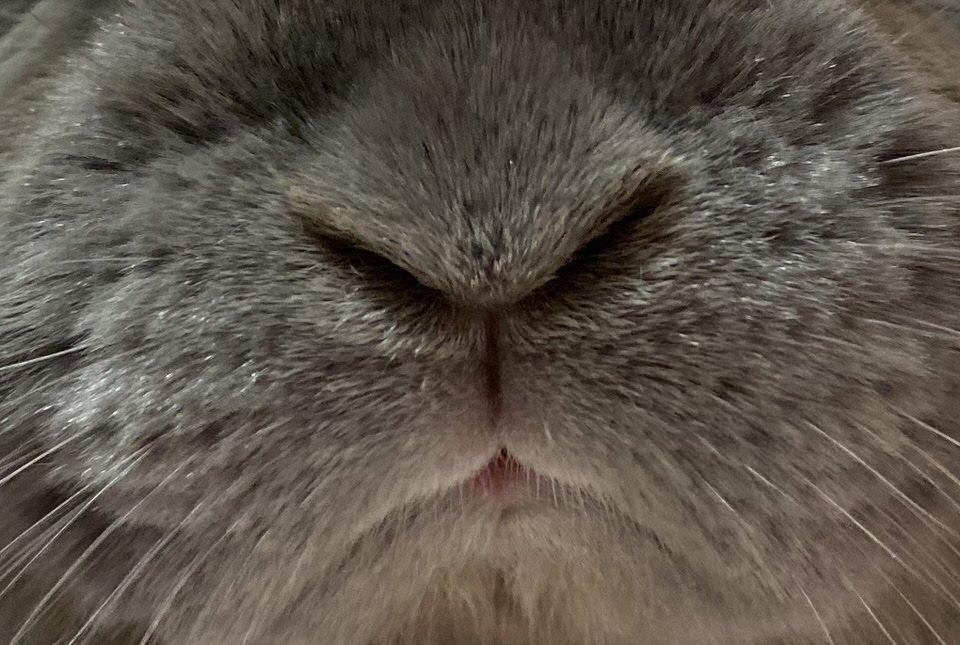 うさぎは鳴かないって言われているけれど本当!?実は鳴く!うさぎの鳴き声と鳴く理由とは?