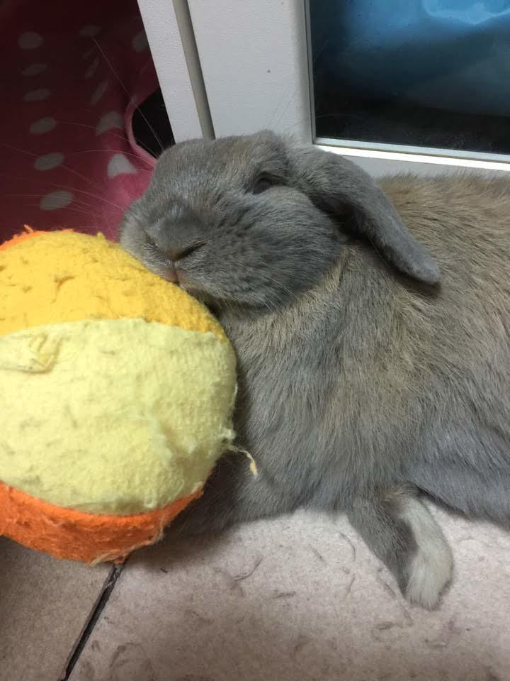 手作りボールを枕に寝るうさぎのつき