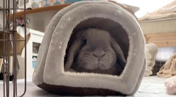 小動物用ハウスに入って遊ぶうさぎ