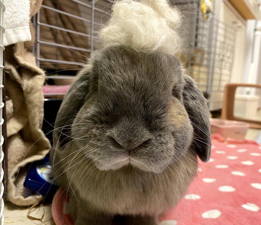 抜けた毛を頭に載せてポーズをとるうさぎ
