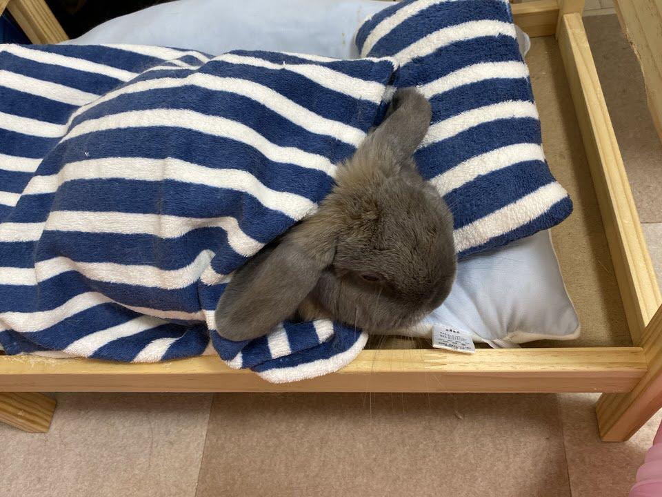ペットベッドでくつろぐうさぎのつき