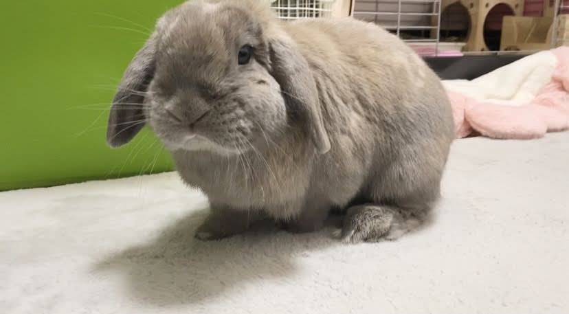 【海外のウサギ記事】うさぎは感情的なサポートが出来る動物!