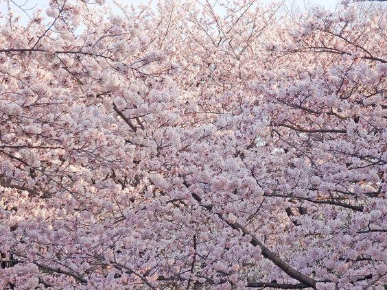 代々木公園の桜は東京都内のお花見の名所