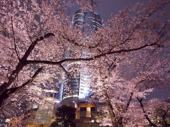 六本木ヒルズの桜は東京都内のお花見の名所