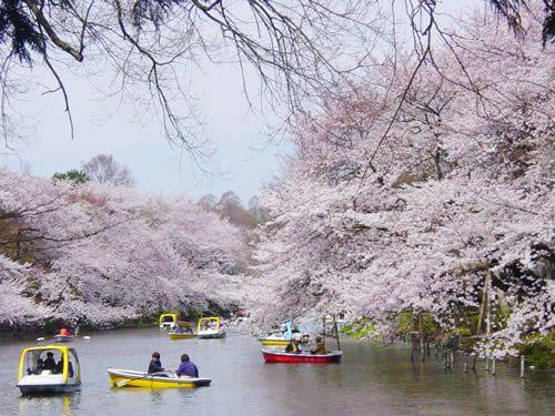 井の頭公園の桜は東京都内のお花見の名所