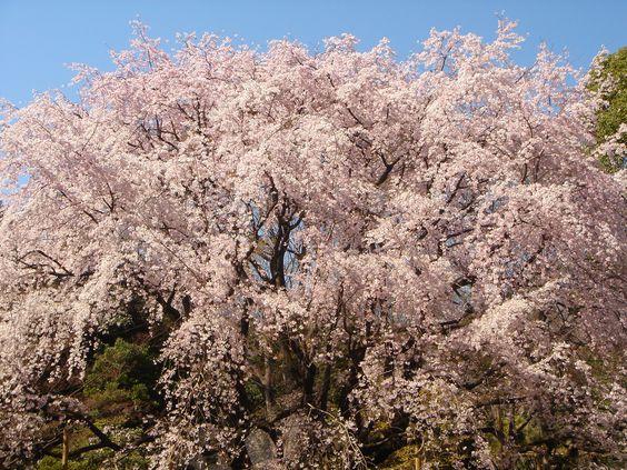 六義園の桜は東京都内のお花見の名所
