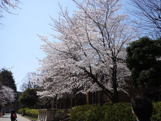 東京大学の駒場キャンパスは東京都内の穴場お花見スポット