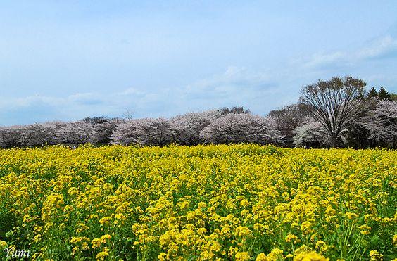 国営昭和記念公園は東京都内の穴場お花見スポット