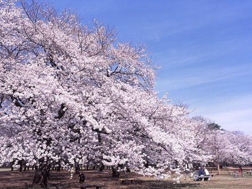 小金井公園は東京都内の穴場お花見スポット