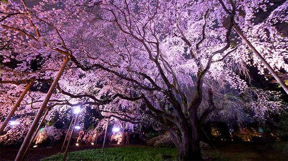 六義園はおすすめのライトアップ夜桜スポット