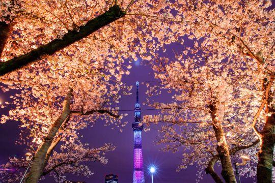 隅田公園はおすすめのライトアップ夜桜スポット