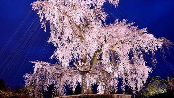 円山公園は京都の桜の定番お花見スポットの名所