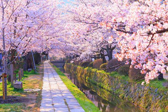 哲学の道は京都の桜の定番お花見スポットの名所