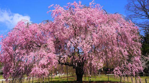 上賀茂神社は京都の桜の定番お花見スポットの名所