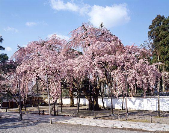 醍醐寺は京都の桜の定番お花見スポットの名所