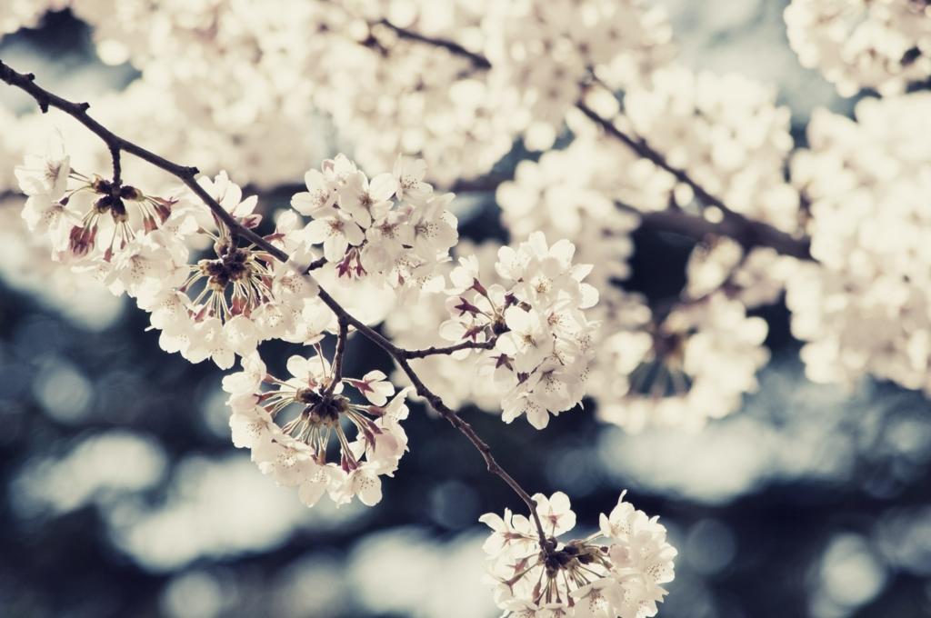 京都の桜の名所、穴場のお花見スポット