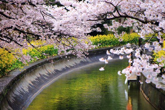 山科疏水は京都の桜の名所、穴場のお花見スポット
