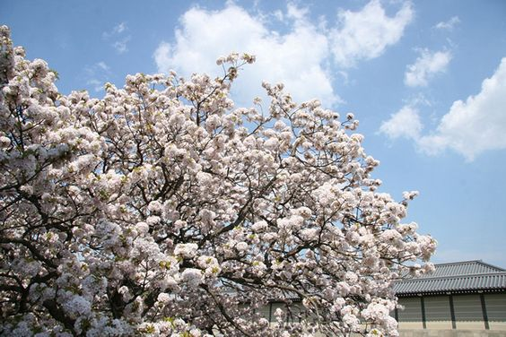 京都御苑は京都の桜の名所、穴場のお花見スポット