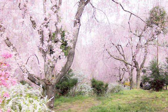 原谷苑は京都の桜の名所、穴場のお花見スポット