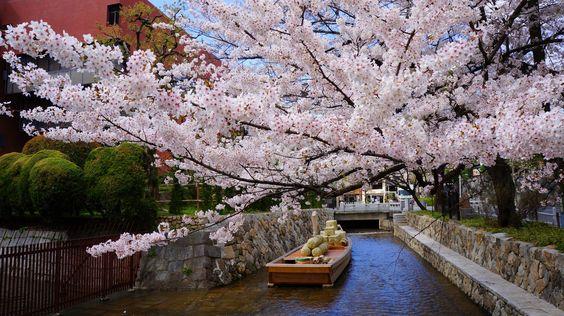 高瀬川は京都の桜の名所、穴場のお花見スポット