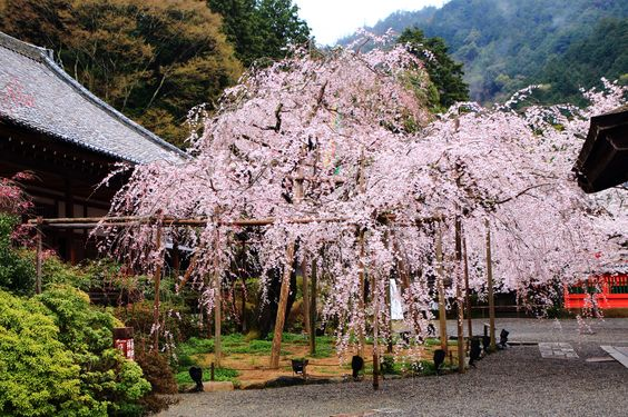 毘沙門堂は京都の桜の名所、穴場のお花見スポット