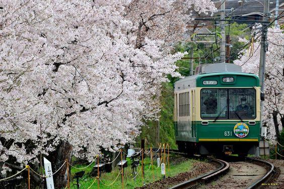 桜のトンネルを走る京都の嵐電