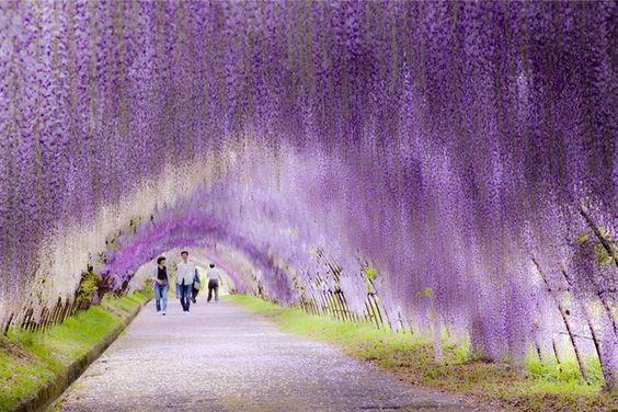 世界の絶景に選ばれた福岡県の河内藤園