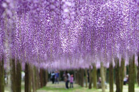 福岡県北九州市の河内藤園は私営の藤園