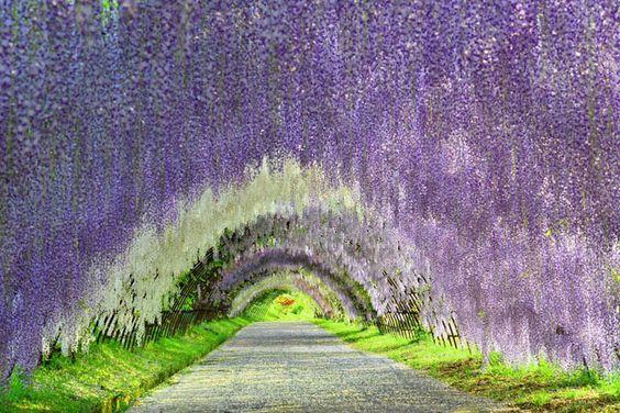 河内藤園の藤のトンネルは世界の絶景