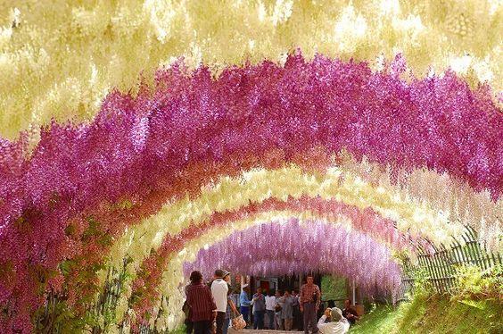 福岡県北九州市の河内藤園は世界の人々を魅了している
