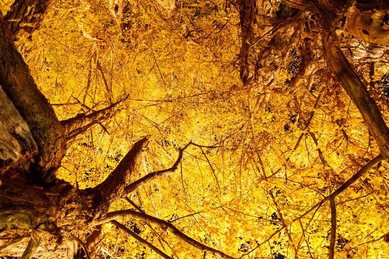 東京都内の幻想的なおすすめの人気イチョウ並木