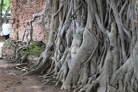 ワットプラマハタートの菩薩樹