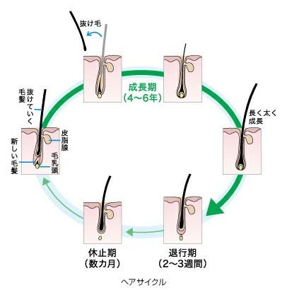 ヘアサイクルを表した図