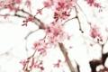 [桜]春の顔