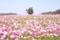 [コスモス][花]ピンクの絨毯