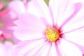 [コスモス][花]蜂さんとコスモス