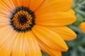 [花]オレンジ