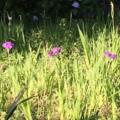 葉山公園の菖蒲