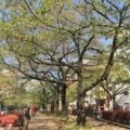 中央通りの葉桜