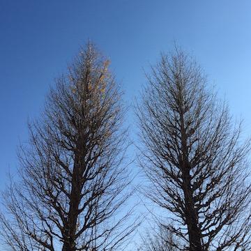 二本の杉の木