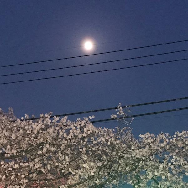 夜桜と月光