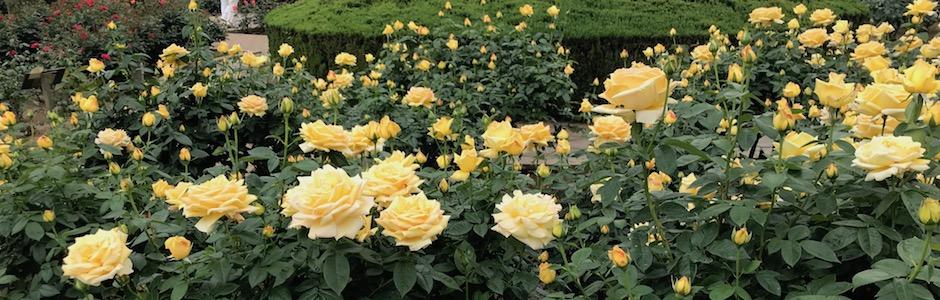 神代植物公園の黄色いバラ