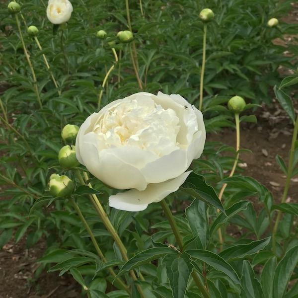 神代植物公園の桃色のバラ