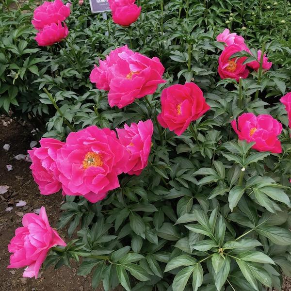 神代植物公園の赤いバラ