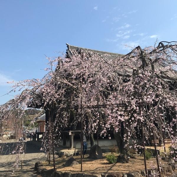 道成寺の枝垂れ桜